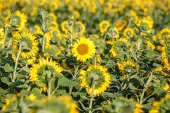 Panorama w polu kwitnący słoneczniki w słonecznym dniu fotografia royalty free