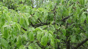Panorama water fall tree. Closeup panorama of rain water drops fall on apple fruit tree branch twig leaves in spring garden stock video footage