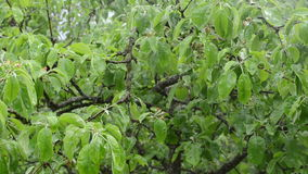 Panorama water fall tree. Closeup of rain water drops fall on apple fruit tree branch twig leaves in spring garden stock video