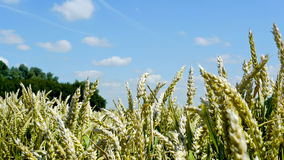 Panorama of wheat cereal in a field Royalty Free Stock Images