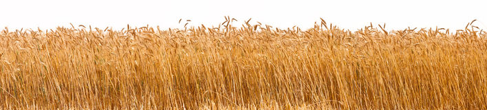 Panorama of a wheat crop Royalty Free Stock Image