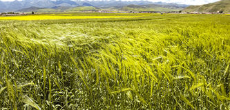 Panorama of wheat ears in the valley of flowers Royalty Free Stock Images