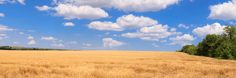 Panorama wheat field Royalty Free Stock Images