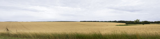 Panorama wheat field Stock Images