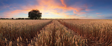 Panorama of a wheat field landscape with path Stock Photos
