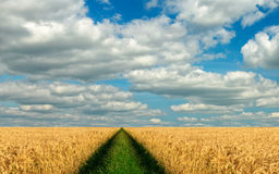Panorama of wheat field Royalty Free Stock Photos