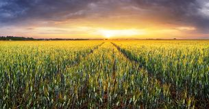 Panorama of wheat field at sunset Stock Photos