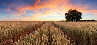 Panorama of wheat field at sunset Royalty Free Stock Photos