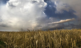 Panorama of wheat field with thunderclouds Royalty Free Stock Image