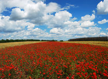 Panorama of wheat and poppy field Stock Photography