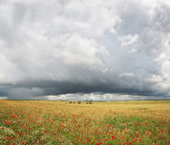 Panorama of wheat and poppy meadow. Royalty Free Stock Photography