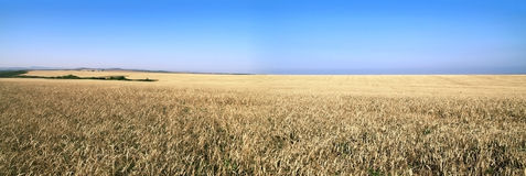 Panorama of a wheaten field Stock Photo