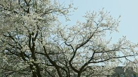 Panorama on white blossom trees in springtime. Panorama left on white blossom trees in springtime above houses against blue sky stock video
