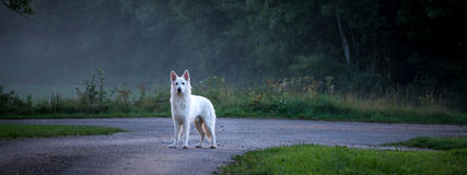 Panorama with a white dog on a country road with mist Royalty Free Stock Image