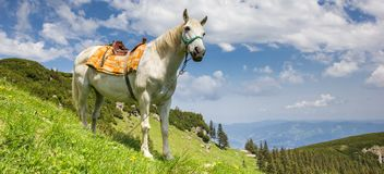 Panorama of a white horse in the Carpathian mountains. Of Romania Stock Photos