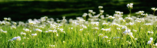 Panorama of White Pearlwort Flowers. Latin name Sagina Procumbens royalty free stock image