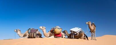 Panorama wielbłądy w piasek diun pustyni Sahara południe Tunezja Zdjęcia Royalty Free
