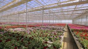 Panorama wielka nowo?ytna szklarnia Wielka jaskrawa szklarnia z przejrzystym kwitnieniem i dachem kwitnie zbiory wideo
