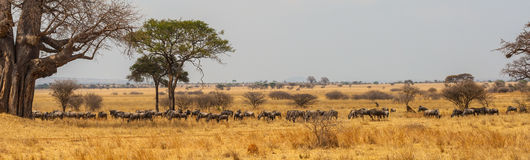 Panorama of wildebeast herd grazing. Group of wildebeast grazing near a big tree in the safari of the Serengeti Royalty Free Stock Photo