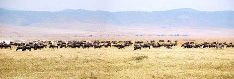 Panorama of Wildebeest migration royalty free stock images