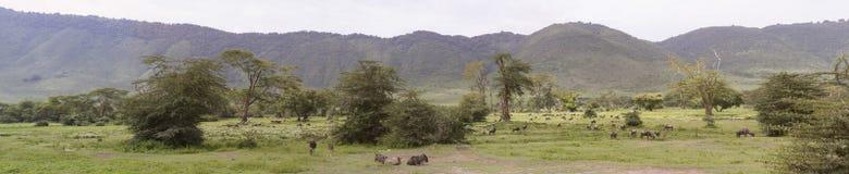 Panorama wildebeest w łące, Ngorongoro krater, Tanzania fotografia stock
