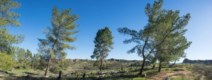 Panorama of Wind Blown Trees Royalty Free Stock Image