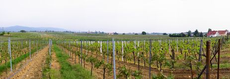 Panorama of wineyards in spring Stock Image