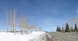 Panorama, winter aspens Royalty Free Stock Image