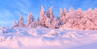 Panorama with winter fabulous fir trees covered with fluffy snow highlighted with pink light. Frozen snowflakes created interesting forms and volumes. Magic stock image