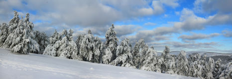 Panorama of the winter forest Royalty Free Stock Image
