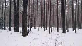 Panorama of winter forest stock video