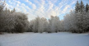 Panorama of winter forest. Frosty trees Royalty Free Stock Images