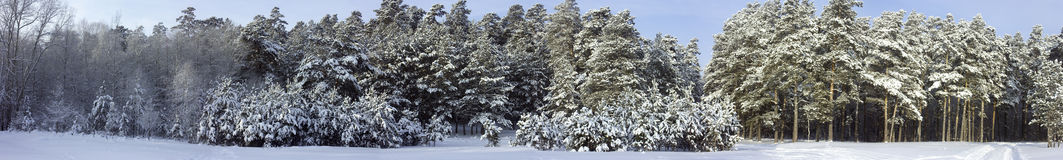Panorama of the winter forest Stock Photography