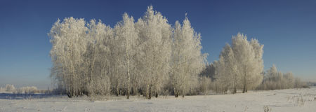 Panorama of a winter forest on a sunny day against a blue sky Stock Image