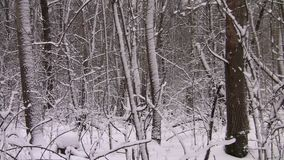 Panorama of the winter forest. Trees covered with snow. The trunks and branches of the trees are covered with snow stock video