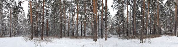 Panorama of winter snow-covered pine forest Stock Photo