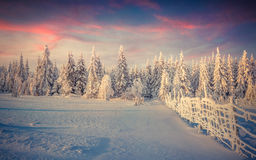 Panorama of the winter sunrise in forest Royalty Free Stock Photo