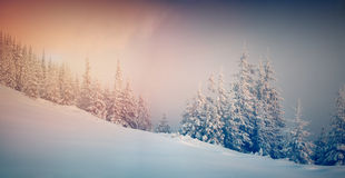 Panorama of the winter sunrise in the mountain forest. Royalty Free Stock Photo