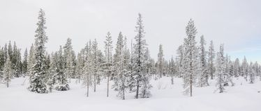 Panorama With A Snow Covered Arctic Fir Trees. Stock Photography