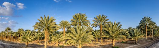 Panorama With Plantation Of Date Palms Royalty Free Stock Photos