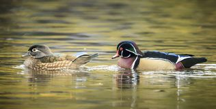 Panorama of wood duck couple. A panorama of a woos duck couple at Cannon Hill Park in Spokane, Washington Stock Photography