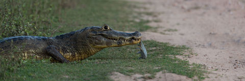 Panorama of yacare caiman holding dead fish Royalty Free Stock Photo