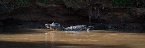 Panorama of yacare caiman in sunlit pool Royalty Free Stock Photo