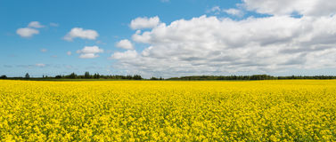 Panorama of yellow field rapeseed (Green Gables Shore, Prince Ed Stock Images