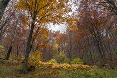 Panorama with Yellow leafs of beech, Vitosha Mountain, Bulgaria Stock Image