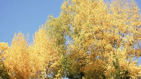 Panorama of yellow trees in a forest. Blue sky background stock video footage