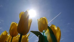 Panorama of yellow tulips in front of the sun. Blue sky with flying plane. stock video footage