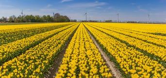 Panorama of yellow tulips and turbines in Flevoland Stock Photos