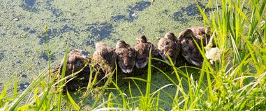 Panorama of the young campers sitting ducks, bask in the sun, on a background of green pond. Selective focus. Wildlife fauna stock images