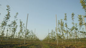 Panorama of Young Green Apple Trees on Plantation stock footage